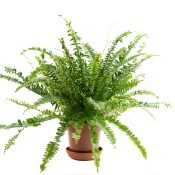 A potted fern on a white background.