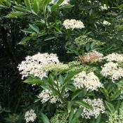 An elderberry tree in bloom.