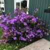 A purple rhododendron in front of a green house.