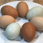 Blue and Brown Eggs, Oh My! - plate with 7 eggs, some blue, some dark brown and two light brown