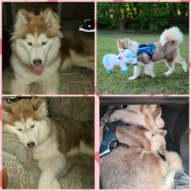 What Kind of Husky Do I Have? - montage photos of light brown and white Husky