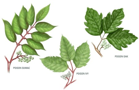 Beware of Poison Ivy and Poison Oak - illustration of the leaves of poison ivy, oak, and sumac