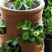 A strawberry pot with plants in bloom.
