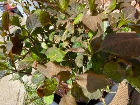 Hydrangeas Leaves Turned Brown
