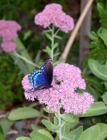 Blue Beauty (Butterfly on Sedum flower) - brilliant blue butterfly on pink autumn sedum flower