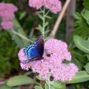 Blue Beauty (Butterfly on Sedum flower) - brilliant blue butterfly on pink autumn sedum flower