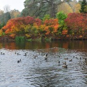 A photo showing a lake with ducks and colorful autumn trees.