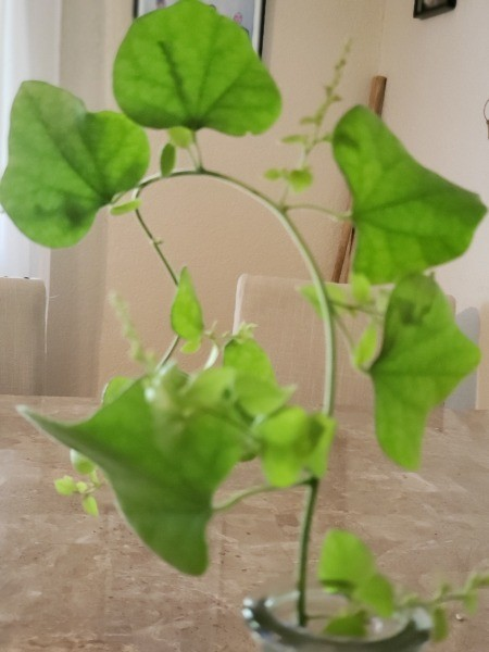 Identifying a Vine and Growing It from Cuttings - closeup of vine cutting