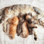 A mother cat with several kittens nursing.