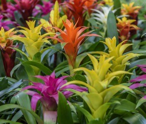 Different colored bromeliads in bloom.
