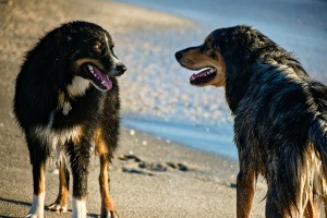 Two dogs interested in each other.