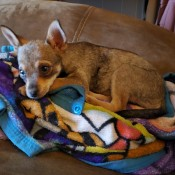 Is My Dog a Full Blooded Chihuahua? - brown Chi with darker tail and tips