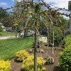 Struggling Weeping Cherry Tree - tree with few leaves
