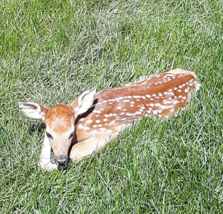 Backyard Visitor (Fawn) - beautiful spotted fawn lying the grass