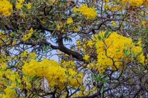 Branches of blooming yellow flowers on a tabebuia tree