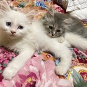 What Breed Are My Kittens?  - fuzzy white and gray tabby kitten