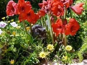 Planting Amaryllis Outdoors red amaryllis in garden with cat