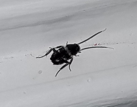 Identifying a Small Black Bug Found Inside - black bug with white stripe and spots