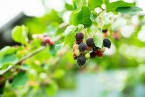 A saskatoon serviceberry bush, with berries.
