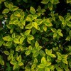 A euonymus bush with variegated leaves.