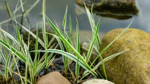 A patch of phalaris grass growing by some decorative rocks.