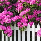 A pink rhododendron in bloom next to a white picket fence.