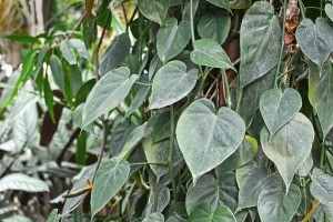 A green plant with heart shaped leaves.