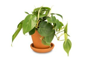 A green plant with heart shaped leaves in a clay pot.