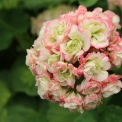 A rosebud geranium in bloom.