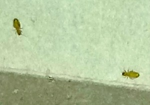 Identifying a Tiny Insect