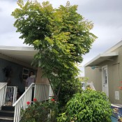 What Kind of Tree Is This? - tree growing next to modular home