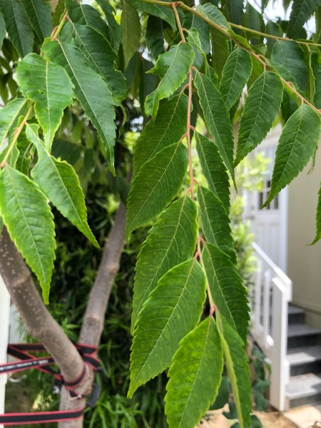 What Kind of Tree Is This? - closeup of leaves