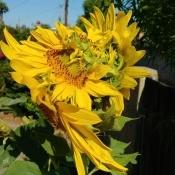 Cause of Multiple Sunflowers on a Single Stalk