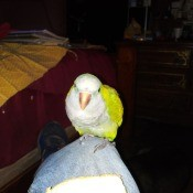 Tito Finally Made It Back Home - yellow and white bird, perhaps a budgie