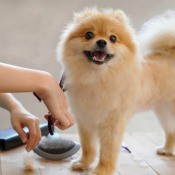 A cute puppy being groomed.