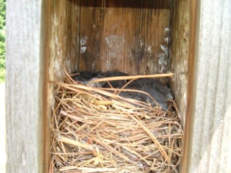 Baby Bluebirds - nest box with baby birds