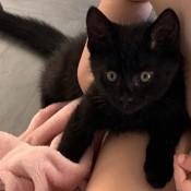 What Breed Is My Kitten? - black kitten with hazel eyes