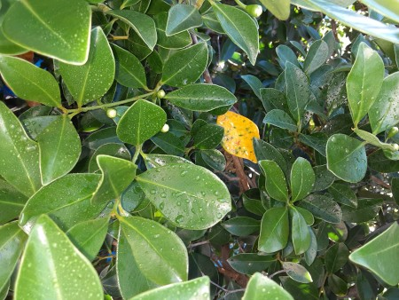 Leaves Turning Yellow on Guava Trees?