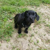 Anyone Know This Little Guy's Breed? - black puppy