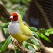 A gouldian finch on a branch.