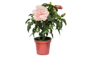 A hibiscus flower in a pot.