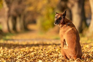 A mixed breed Belgian Malinois outside near trees.