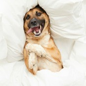 A dog lying in a bed with white sheets.
