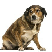 A fearful dog on a white background.