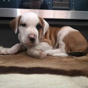 A white puppy with brown areas.