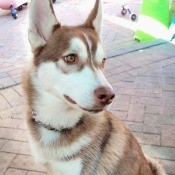 A young tri-color Husky.