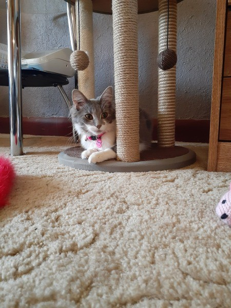 Coral (Domestic Shorthair) - grey and white cat under a scratching post