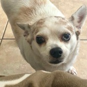 What Is My Chihuahua Mixed With?  - white and light tan dog
