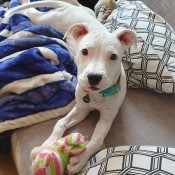 A white puppy on a couch with a toy.