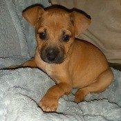 A small brown puppy on a bed.